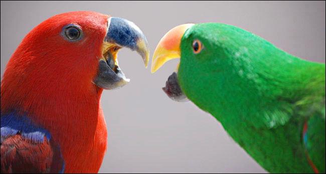 Roxie & Paulie - Eclectus Parrots